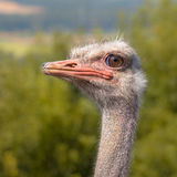 Head of an African Ostrich in Natural Environment Royalty Free Stock Images