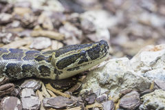 Head of an African rock python Royalty Free Stock Photos