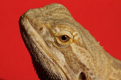 Head of Agama. Detail of the head of the Agama lizard from Australia Royalty Free Stock Images
