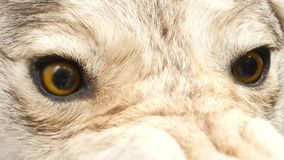 Aggressive Stuffed Wolf Head with Yellow Eyes