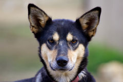 Head of Alaskan husky with ears pricked up Stock Photo