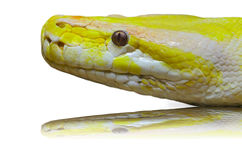 Head albino python. Close up of a Head albino python on the sand Royalty Free Stock Images