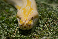 Head of albino python. Unusual albino python in a grass Royalty Free Stock Image