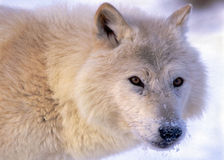 Head of alert Arctic Wolf Stock Image