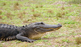 Head of an Alligator. An alligator stops to have a look Royalty Free Stock Photography