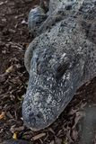 Head of alligator. Royalty Free Stock Photo
