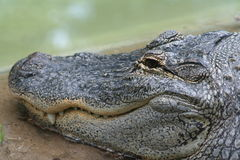 Head of an alligator. Closeup of an alligator head Royalty Free Stock Image