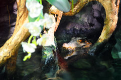 Head of an alligator lurking in the water Stock Image