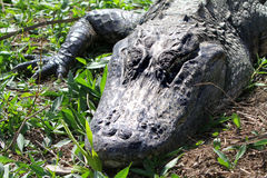 Head of alligator. With mouth closed Royalty Free Stock Photos