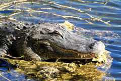Head of alligator. With mouth closed Royalty Free Stock Photo