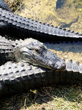 Head of alligator. With mouth closed Royalty Free Stock Images