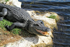 Head of alligator. With mouth open Stock Photo