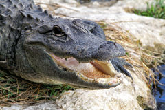 Head of alligator. With mouth open Stock Photos