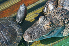 Head of alligator and turtle Royalty Free Stock Image