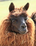 Head of alpaca Stock Photography