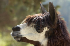 Head of alpaca (lama pacos). Alpaca (lama pacos), live in south America, Peru, Bolivia, Chile Royalty Free Stock Image
