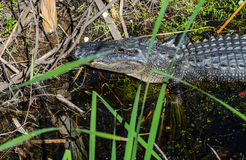 The head of an American Alligator looking at you Royalty Free Stock Photos