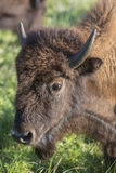 Head of American bison cow Stock Images