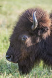 Head of American bison cow Stock Photography