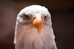 Head of American Eagle Stock Photos
