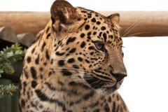 Head of an Amur Leopard Stock Photo