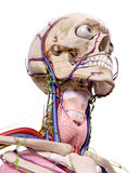 The head anatomy Royalty Free Stock Photos