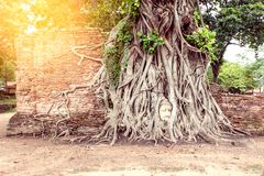 Head of Ancient Buddha in the root Royalty Free Stock Photo
