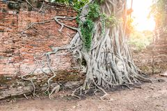 Head of Ancient Buddha in the root. At Mahathat Temple, Ayutthaya Historical Ayutthaya, Thailand Royalty Free Stock Image