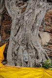 Head Ancient Buddha in the roots Royalty Free Stock Photo