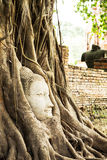Head Ancient Buddha in the roots. Royalty Free Stock Photos