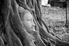 Head Ancient Buddha in the roots. Stock Image