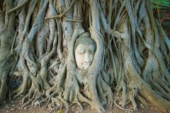 The head of the ancient Buddha sculpture is ingrown into the roots of the tree. Symbol of the city of Ayutthaya, Thailand. The head of the ancient Buddha royalty free stock photos