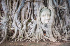 Head of Ancient Buddha Statue in tree roots at Mahathat Temple Stock Image