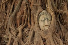 Head of ancient Buddha. Status in the tree Royalty Free Stock Photos