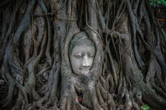Head of ancient Buddha surrounded by the roots of a tree Royalty Free Stock Images