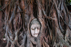 Head of ancient Buddha surrounded by the roots of a tree of Wat Stock Images