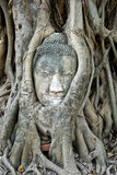 Head of Ancient Buddha in tree. Head of Ancient Buddha made from sandstone in the overgrown tree , Asia , Thailand royalty free stock image
