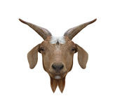 Head animal of Domestic Goat or Capra hircus isolated on white b Royalty Free Stock Images