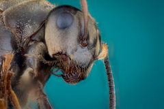 Head of ant Royalty Free Stock Photo