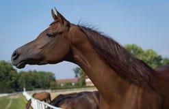 Head of arabian horse Stock Photography