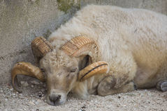 Head of aries sheep Royalty Free Stock Photography