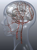 Head artery Stock Images