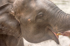 Head of Asian eating elephant in Sri Lanka Stock Photography