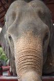 Head of asian elephant Royalty Free Stock Photo