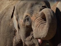 Head from an Asian Elephant (Elephas maximus) Royalty Free Stock Image