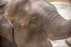 Head of Asian elephant in Sri Lanka Stock Photos