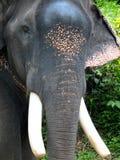 Head of asian Elephant Royalty Free Stock Image