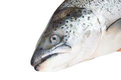 Head of the Atlantic salmon Royalty Free Stock Photos