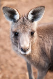 Head of Australian  Eastern Grey Kangaroo with Ears Up Stock Images