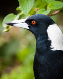 Head of Australian Magpie Bird against blurred green background Stock Image